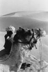 rajasthan-camel-1-v-T